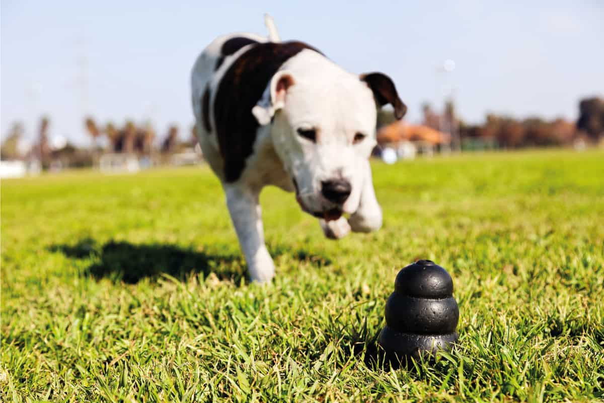 Dog chasing dog kong in park grass, Are Dog Kongs Dishwasher Safe?