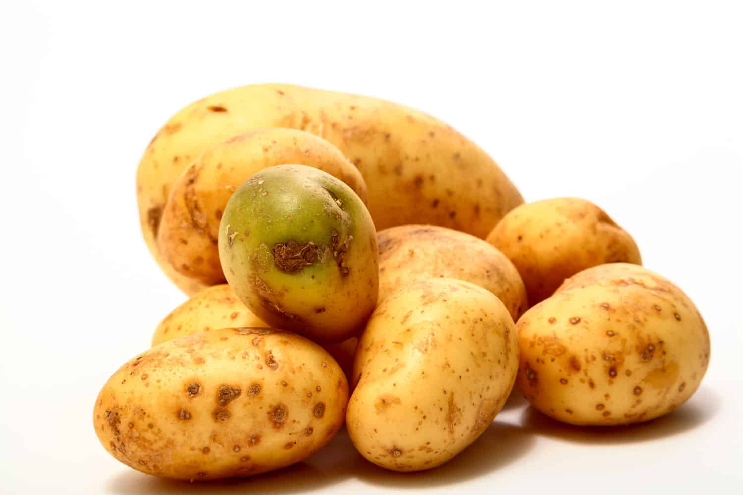 A potato exposed to sunlight turning green on a white background