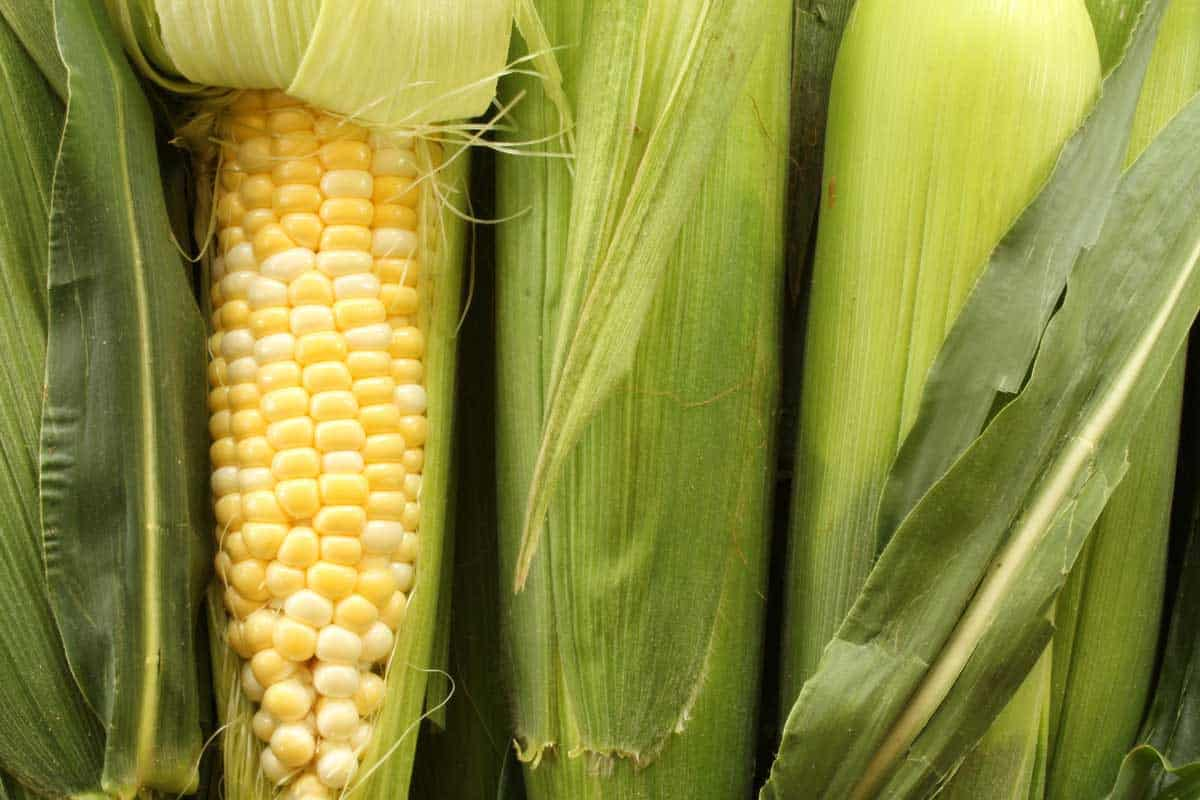 Sweet corn on the cob with one stalk peeled, How Long Does Corn On The Cob Last?