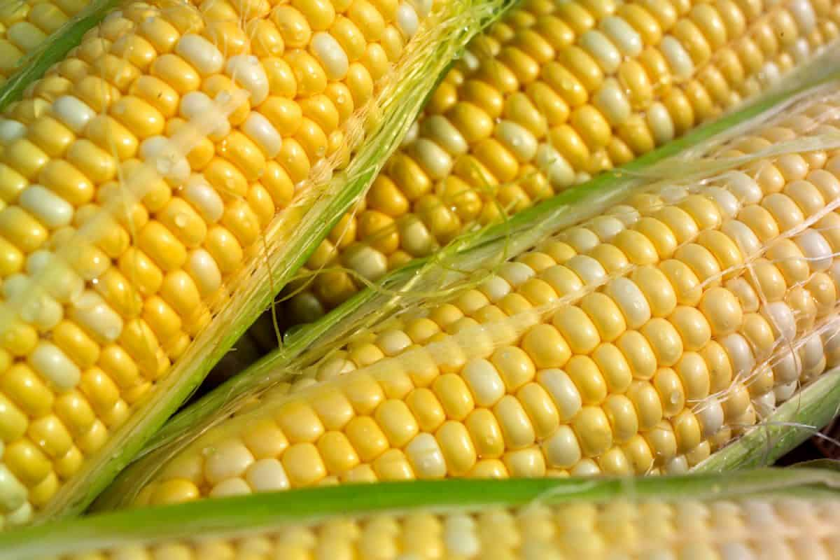 a closeup of corn on the cob