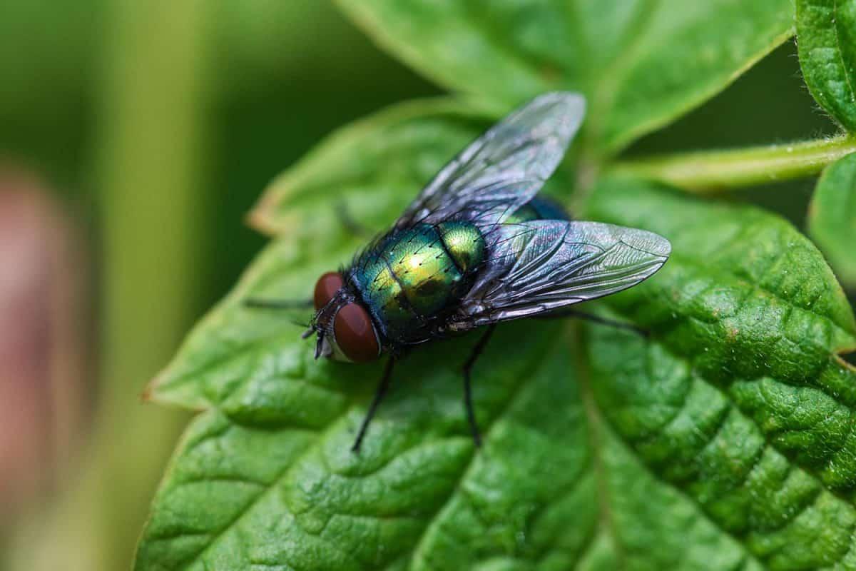Green bottle fly sitting on a leaf